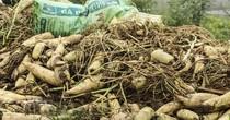 Thị trường 24h: 500 đồng/kg củ cải, dân phải thuê người vứt bỏ vì không ai mua
