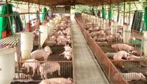 "Thức ăn ""nuốt"" hết lợi nhuận chăn nuôi"