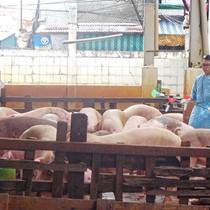 Chất cấm trong thịt heo tăng báo động