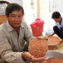 Lúa dược liệu đắt như tôm tươi