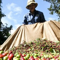 Nông dân ký gửi cà phê mất trắng vì đại lý vỡ nợ