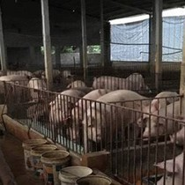 Ở thủ phủ nuôi lợn miền Bắc: Giá lợn hơi rẻ ngang khoai lang