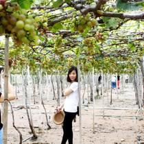 Nho Ninh Thuận giá cao gấp 1,5 lần nhưng mất mùa