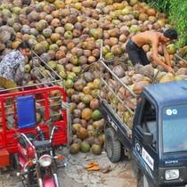 """Bí thư Bến Tre """"đau"""" vì xứ dừa phải nhập... dừa"""