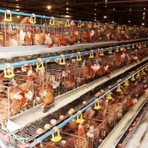Giá thịt gà tăng trở lại dịp cận Tết