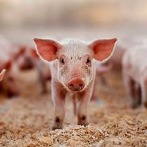 """Bảo hộ nông nghiệp nhìn từ chuyện """"giải cứu"""" thịt lợn ở Trung Quốc hay mía đường ở Mỹ"""