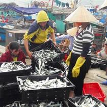 """Ngư dân """"săn"""" cá nục kiếm hàng chục triệu đồng mỗi ngày"""