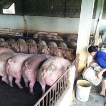 Hà Nam: Đàn lợn uống nước cầm hơi, người dân bữa ăn bữa lo