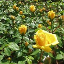 Hoa hồng Đà Lạt tại vườn tăng giá gấp đôi dịp 20/10