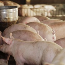 """Dabaco thua lỗ """"khủng"""" nhất lịch sử do giá lợn giảm mạnh"""