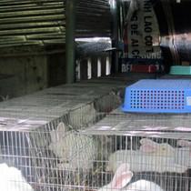 Làm giàu từ nuôi thỏ sinh sản
