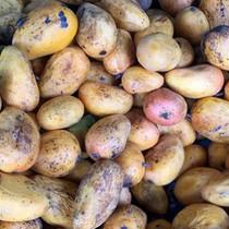Nông dân thu tiền tỷ từ trồng xoài 3 màu