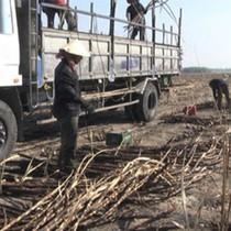 Nông dân Đồng Nai điêu đứng vì mía cháy