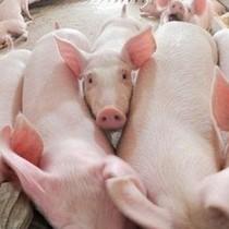 """Cứu giá thịt lợn """"rẻ như bèo"""" cho người nông dân bằng cách nào?"""