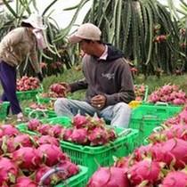 Thanh long Bình Thuận giá cao kỷ lục