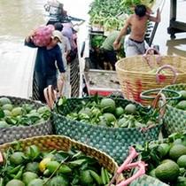 Giá cam sành giảm mạnh, nông dân Đồng bằng sông Cửu Long thất thu lớn