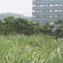25 nhà máy mía đường có nguy cơ đóng cửa