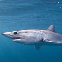 Chile cấm cắt vây 30 loài cá mập ngay trên biển
