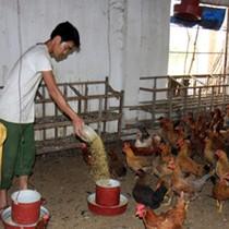 Siết nhập khẩu thịt gà để ổn định chăn nuôi