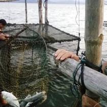 Nuôi cá bán tết, ngư dân mếu máo vì 50 tấn cá chết bất thường