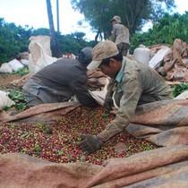 """Cà phê được giá, nông dân vẫn... """"méo mặt"""""""