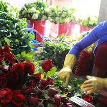 Trước thềm Valentine, hoa hồng Đà Lạt tăng giá gấp 3 lần