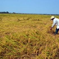 Sự độc quyền trong gặt lúa khiến nông dân khóc ròng