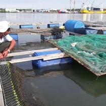 Hàng chục tấn cá nuôi trên sông chết hàng loạt chưa rõ nguyên nhân