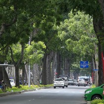 """Xây cầu Thủ Thiêm 2, hàng cây cổ thụ hiếm hoi ở TP. HCM sắp """"biến mất"""""""