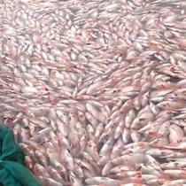 [Video] 60 tấn cá chết dày đặc hồ thủy điện ở Kon Tum
