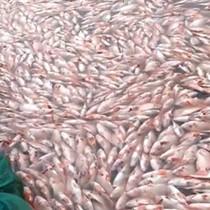 [Video] Hơn 70 tấn cá chết ở hồ thủy điện do thiếu oxy
