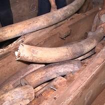 [Video] Đường vận chuyển ngà voi, sừng tê giác về Việt Nam