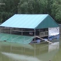 [Video] Nông dân Hà Nội chế nhà nổi nuôi vịt