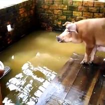 [Video] Người dân bơi xuồng vào nhà, kê ván cho heo ở vì ngập