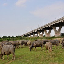 [Video] Cặp vợ chồng chăn đàn trâu 200 con dưới chân cầu Vĩnh Tuy