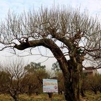 Vườn đào cổ thụ Hải Phòng chờ Tết