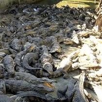 Giá cá sấu tăng mạnh trở lại
