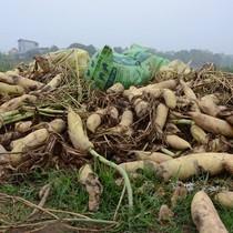 Thị trường 24h: Su hào, củ cải vứt bỏ trắng đồng, Cục trưởng Cục Trồng trọt nói gì?