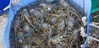 Tôm hùm chết hàng loạt, người dân Phú Yên thiệt hại hàng chục tỷ đồng