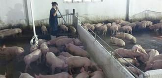 Cải tổ chăn nuôi để xuất heo chính ngạch
