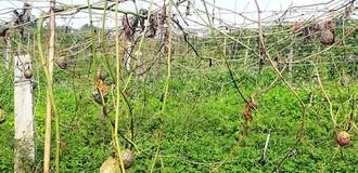 Phá 1.200 cây chanh leo để trả thù doanh nghiệp