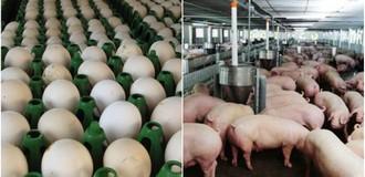 Thị trường 24h: Giá trứng tăng liên tục, giá lợn thấp khủng hoảng