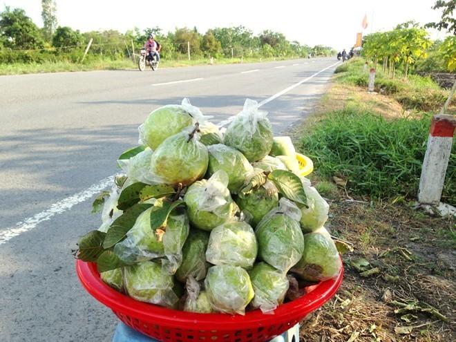 500 đồng một kg ổi, người miền Tây bỏ chín đầy vườn