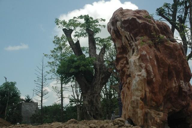Cây giáng hương có giá 100 triệu đồng bị cho là cây sưa có giá lên tới hàng triệu đô la