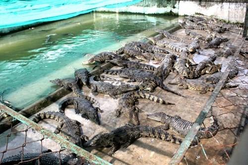 Bên trong trang trại nuôi cá sấu làm đồ da lớn nhất Sài Gòn - ảnh 5