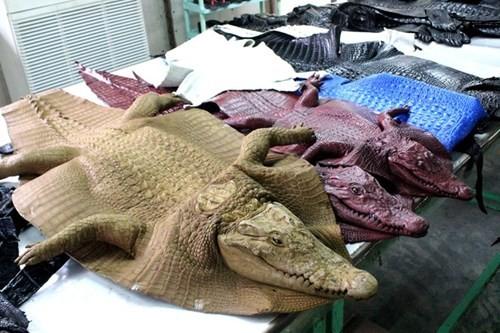 Bên trong trang trại nuôi cá sấu làm đồ da lớn nhất Sài Gòn - ảnh 7