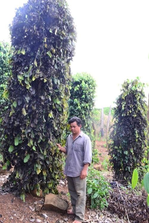 Giang hồ ép nông dân trồng tiêu nộp tiền bảo kê - ảnh 4
