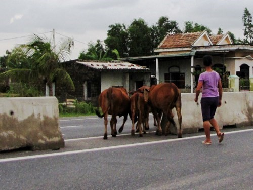 Người dân H.Quảng Trạch dắt bò qua các điểm tự mở