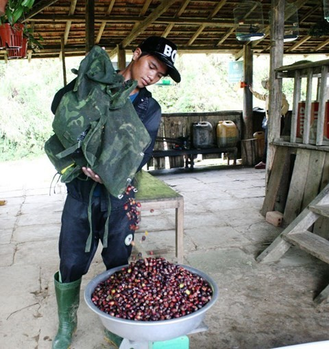 Hái sim rừng cho thu nhập 300.000 đồng một ngày