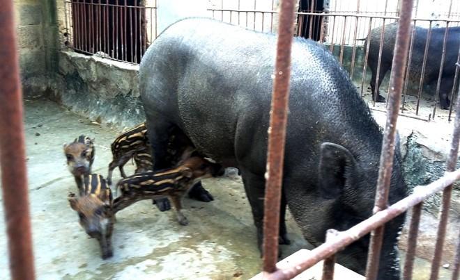 Hai lần mất trăm triệu vì nuôi lợn rừng lai